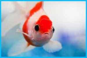 sapne mein machli dekhna sapne mein fish dekhna fish in dream sapne mein machli ko aata khilana sapne me machli dekhna seeing fish in dream sapne me machli khana sapne me machli ko katna